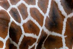Жираф Rothschild, кожа Стоковые Изображения