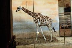 Жираф Rothschild (rothschildi camelopardalis Giraffa) на зоопарке Праги, чехии Стоковое Изображение RF
