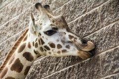 Жираф Tonge Стоковое Изображение