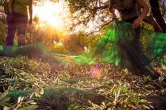 Жмущ свежие оливки на зеленых сетях от агрономов женщины в оливковом дереве field в Крите, Греции Стоковые Изображения