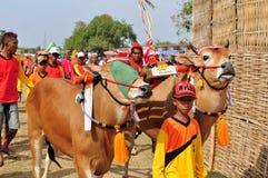 Жокей водит быков в гонке Madura Bull, Индонезии Стоковое Изображение