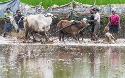 Жокей местных людей помогая по мере того как он падает вниз в грязь в фестивале гонки быка Pacu Jawi Стоковое фото RF