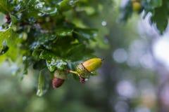 Жолуди на ветви дуба Стоковое Изображение RF