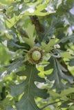 Жолудь дуба Bur Стоковое фото RF