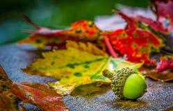 Жолудь среди листьев осени стоковая фотография rf
