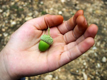 жолудь придавая форму чашки зеленая рука Стоковое Изображение RF