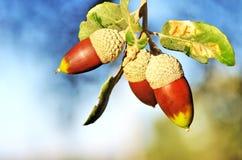 Жолуди на ветви дуба Стоковые Изображения