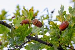 Жолуди на ветви дуба Стоковая Фотография
