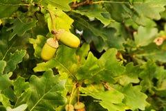 Жолуди на дереве Стоковое Изображение