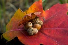 Жолуди на лист дуба Стоковые Фото