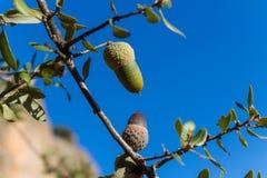 Жолуди на дубе среди зеленых листьев Стоковое Фото