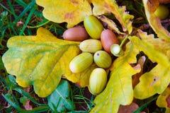 Жолуди дуба на листьях осени Стоковое фото RF