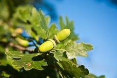 Жолуди дуба среди ветвей Стоковые Фотографии RF