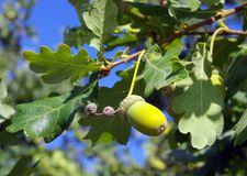 Жолудь на ветви дуба Стоковое Фото