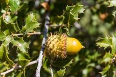 Жолудь на дубе среди зеленых листьев Стоковые Фотографии RF