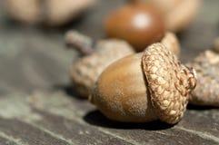 Жолудь осени Стоковая Фотография RF