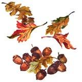Жолудь при изолированные листья дуба иллюстрация штока