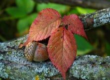 Жолудь с красными листьями Стоковые Изображения