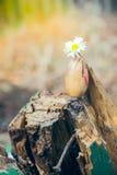 Жолудь с маргариткой Стоковые Изображения RF