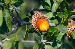 Жолудь дуба на ветви Стоковые Фото