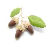 3 жолудя дуба с листьями на белой предпосылке Стоковое Фото