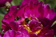 Жужжать путает пчелы Стоковые Фотографии RF