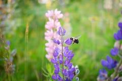 Жужжа пчела стоковые изображения