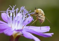 жужжа цветок цикория Стоковое Фото