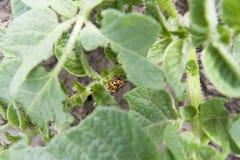 2 жука Колорадо (жук картошки) сидя на картошке выходят Стоковая Фотография RF