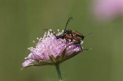 2 жука лонгхорна сопрягая на конце цветка поля Scabious вверх Стоковое фото RF
