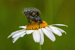 2 жука сидя на маргаритке Стоковое Фото