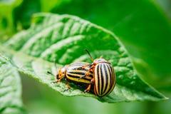 2 жука Striped Колорадо - Leptinotarsa Decemlineata Стоковое Изображение RF