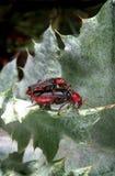 Жуки жука солдата сопрягая на лист Стоковая Фотография RF