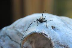 Жуки лонгхорна также известные как жуки или longicorns длинн-horned или лонгхорна космополитическая семья жуков стоковое изображение rf