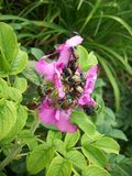 Жуки на розовом цветке Стоковые Фото