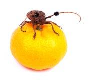 Жуки с апельсином стоковое изображение