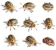жуки colorado Стоковая Фотография