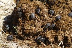 жуки dung пировать Стоковые Фотографии RF