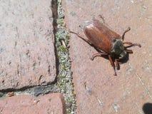 жук большой Стоковое фото RF