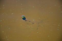 Жук в воде Стоковая Фотография RF