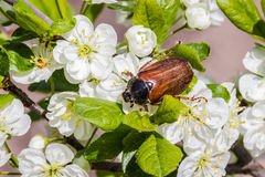 Жук в мае на цветя сливе Макрос Стоковые Изображения