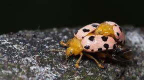 Жук, жук красивый, жук Таиланда Стоковое Изображение