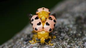 Жук, жук красивый, жук Таиланда Стоковые Изображения RF