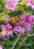 Жук жук-чефера на фиолетовых цветках стоковые фотографии rf