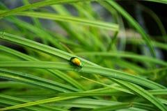 жук золотистый Стоковое фото RF