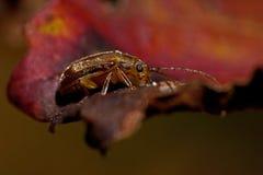 Жук лист калины, viburni Pyrrhalta стоковая фотография