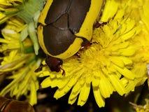 Жук лилии Стоковая Фотография RF