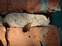 Жук картошки Колорадо вползая на стене Стоковое Изображение