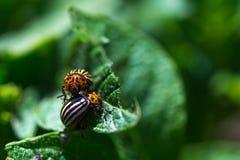 Жук Колорадо насекомого Стоковая Фотография RF