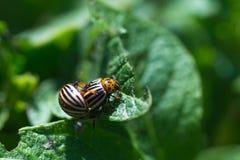 Жук Колорадо насекомого Стоковое Изображение RF